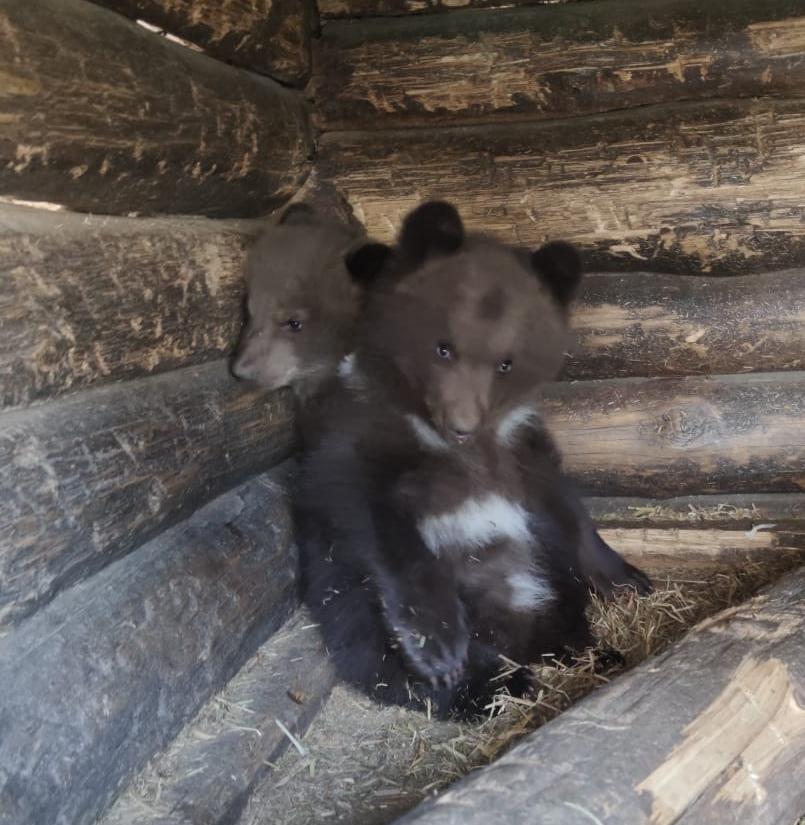 Два маленьких, замечательных медвежонка радуют отдыхающих  в санатории «Барнаульский»